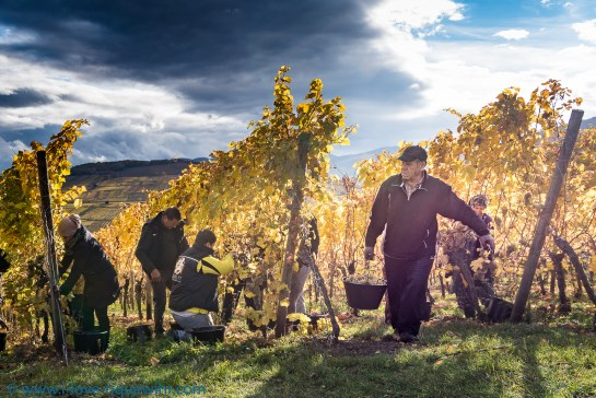 Grape harvesting in Riquewihr