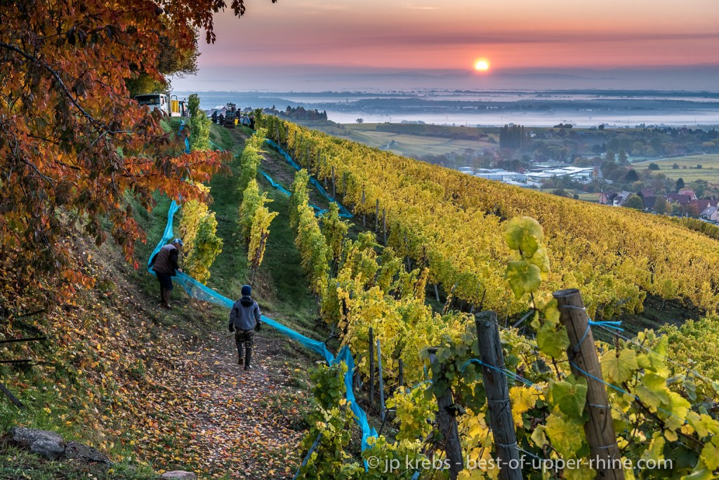 Harvest on the hill Grand Cru Schoenenbourg and the rising sun