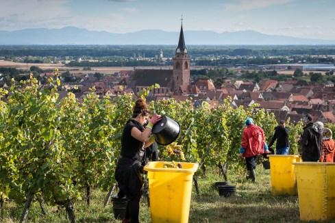Grape harvesting in Bergheim. Black Forest in the far.