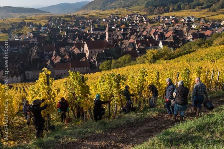 Harvest at Riquewihr's Schoenenbourg grand cru vineyards.