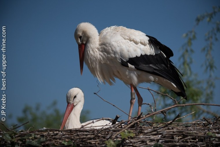 The stork, famous Alsatian bird