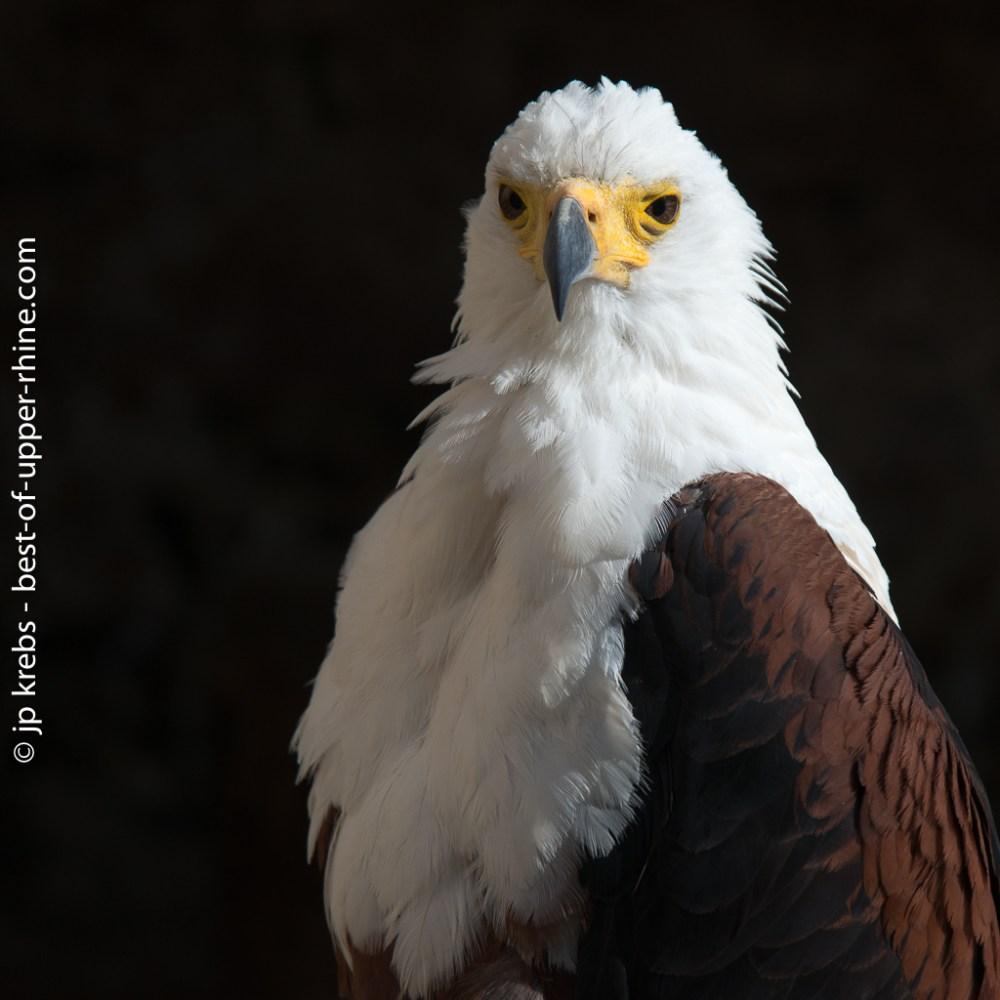Eagle flight, La volerie des Aigles in Alsace