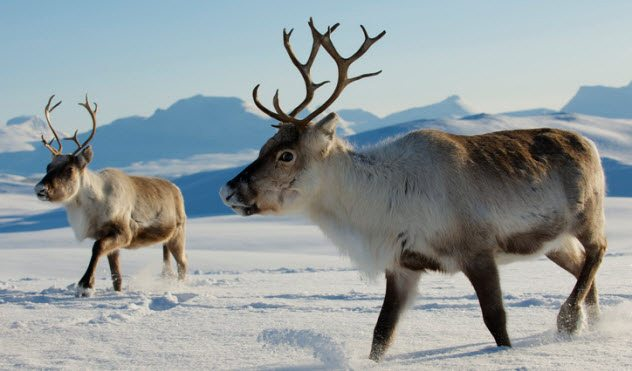 10 little known facts about reindeer - 10 Little-Known Facts About Reindeer