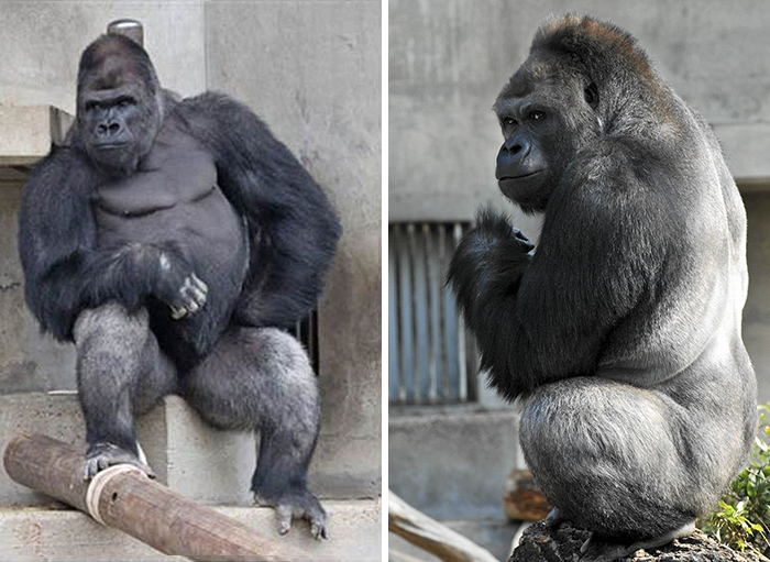 1514403494 123 people are comparing this ridiculously photogenic gorilla to george clooney and we cant handle it - People Are Comparing This Ridiculously Photogenic Gorilla To George Clooney And We Can't Handle It