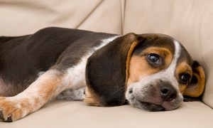 A bored sad or sleepy dog on a couch - Do You Have a Bored Dog? Know the Signs and How to Keep Your Dog Happy and Active