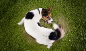 A dog chasing his tail - Why Do Dogs Have Tails?