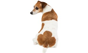 A dog sitting backward showing his butt - Why It Happens and When to See a Vet