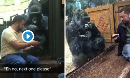 man helps gorilla find his next tinder date - Man Helps Gorilla Find His Next Tinder Date