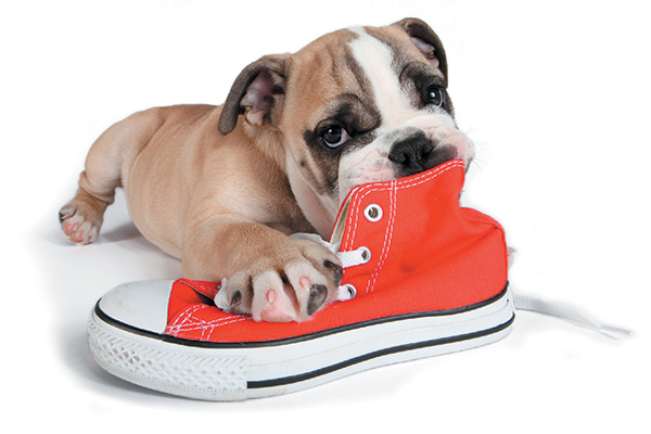 A puppy chewing on a shoe.