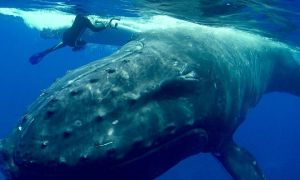 1515505353 hero whale saves snorkeler from tiger shark in the pacific ocean - Hero whale saves snorkeler from tiger shark in the Pacific Ocean