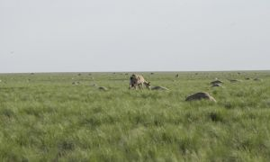 1516336713 scientists unravel bizarre mystery of mass antelope deaths - Scientists unravel bizarre mystery of mass antelope deaths