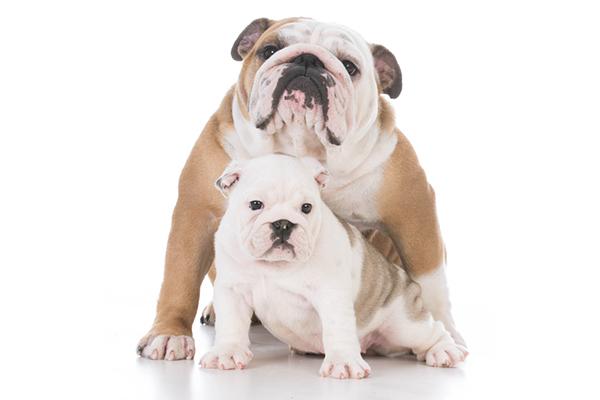 An adult bulldog and a baby puppy bulldog.