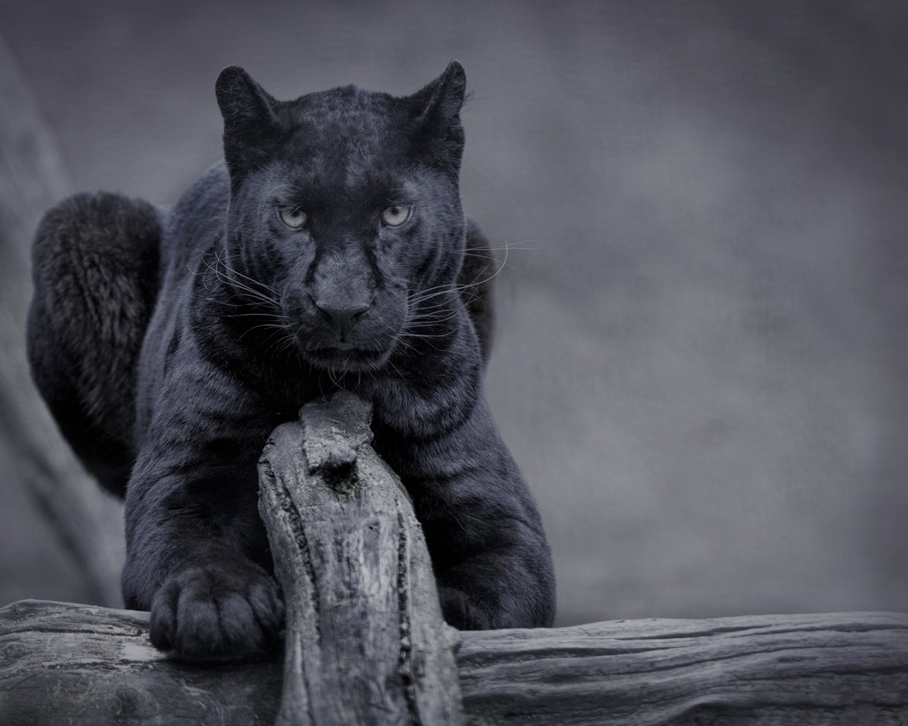 Iphone 4s White Wallpaper Wallpaper Black Panther Wildlife Front View 1920x1200 Hd