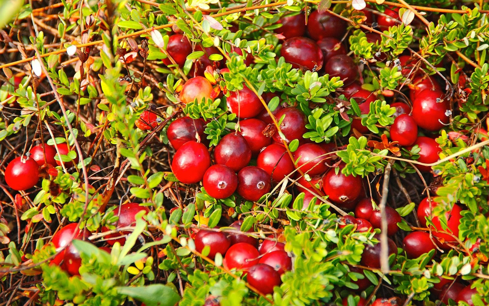 Wallpaper Many Red Berries Cranberry Plants 1920x1200 HD