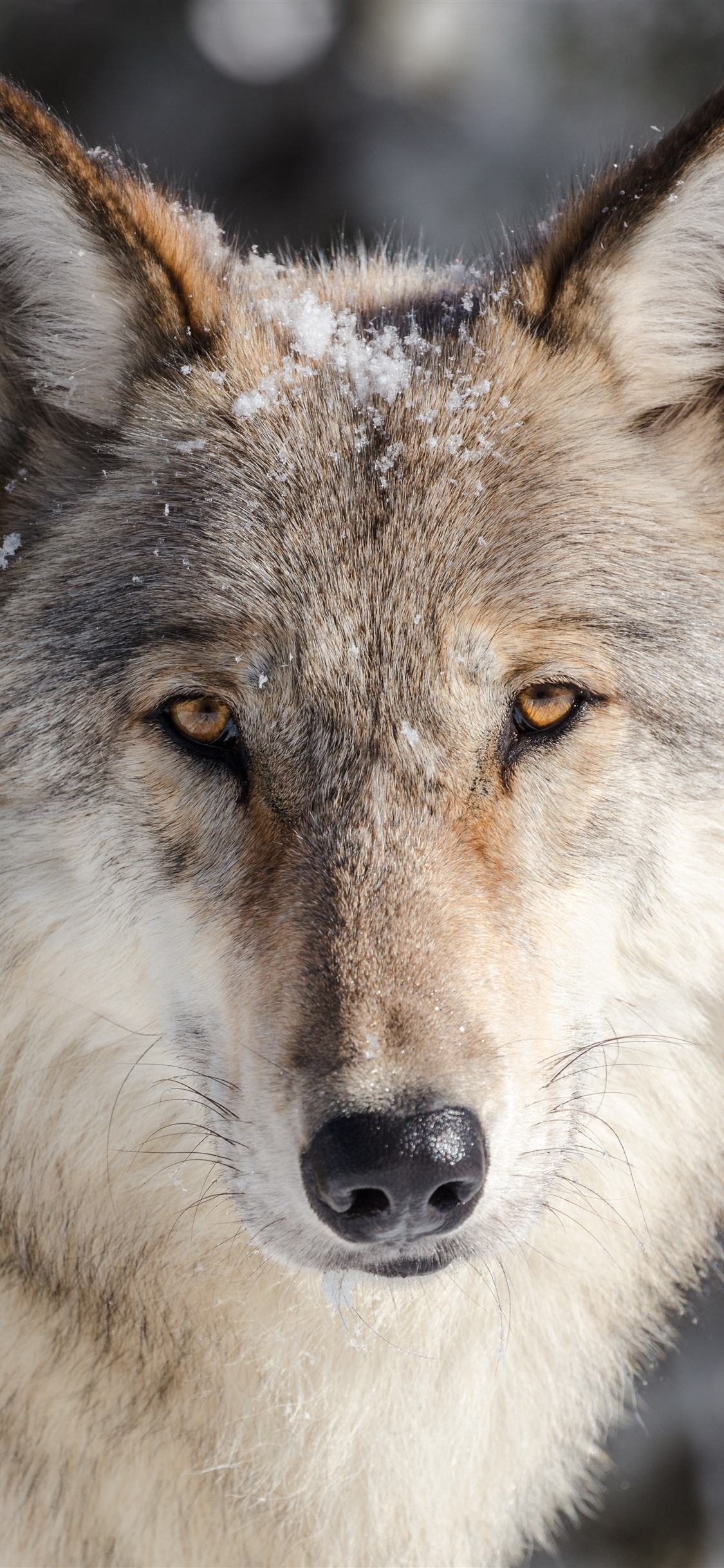 Cute Wallpapers Of All The Animals Wallpaper Wolf Look Front View Face Snow 7680x4320 Uhd