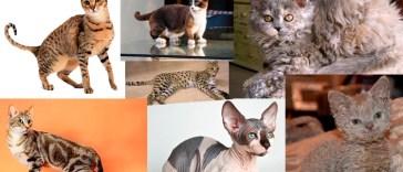 Top 10 Nuevas razas de gatos en desarrollo