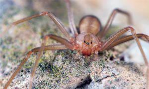 Il ragno violino un velenoso aracnide che vive in Italia