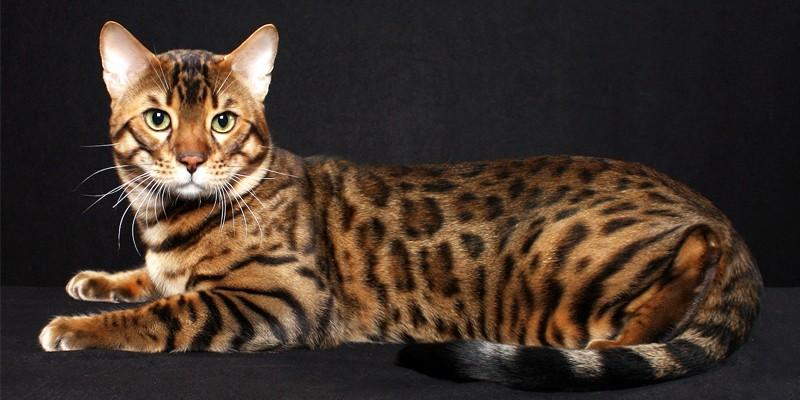 Il gatto Bengala  best5it