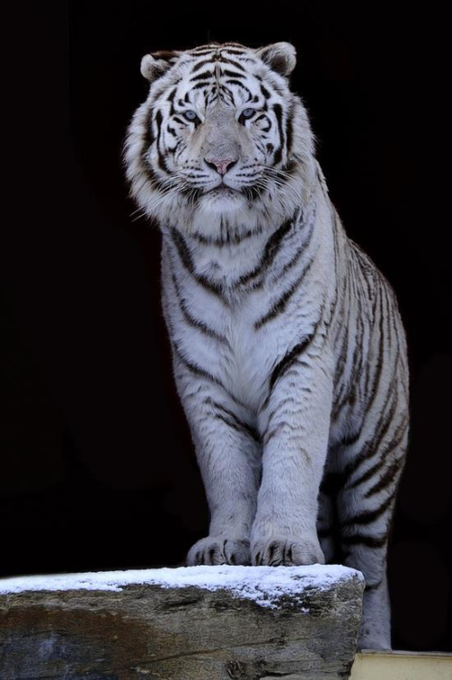 Love Animation Wallpaper Amazing Animated White Tiger Gif Images At Best Animations