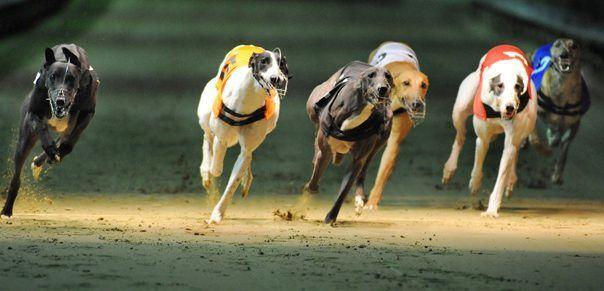 Greyhound Racing Betting 1