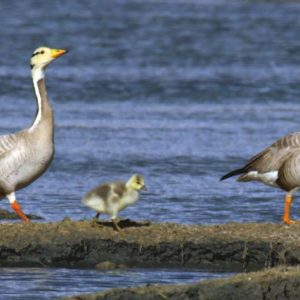 Hikvision joins forces with Green River to protect threatened bar-headed goose population