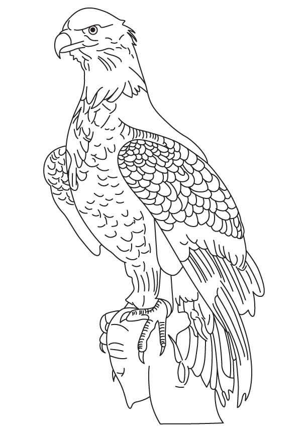 Wedge Tailed Eagle Coloring Page Download Free Wedge