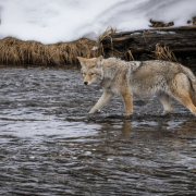 FOXPRO Wildfire 2 Review