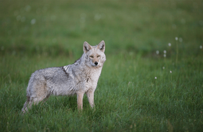 FOXPRO Wildfire 2