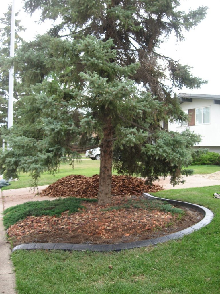 clean up dead area under spruce tree