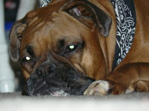 Boxer Dog Separation Anxiety