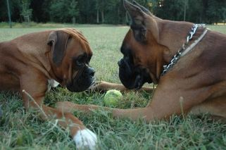 ear croping of boxers dog
