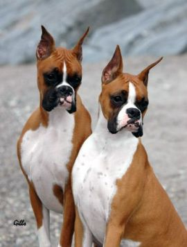 ear cropping for boxer dog
