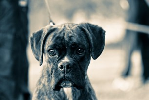 boxer-dog-eye-boogers