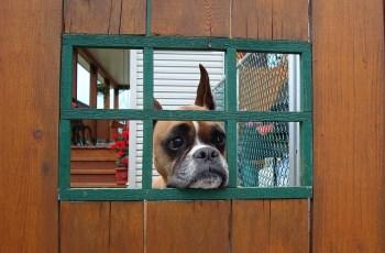 When a Boxer Dog Won't Listen