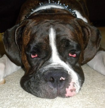 Lymphoma in boxer dog