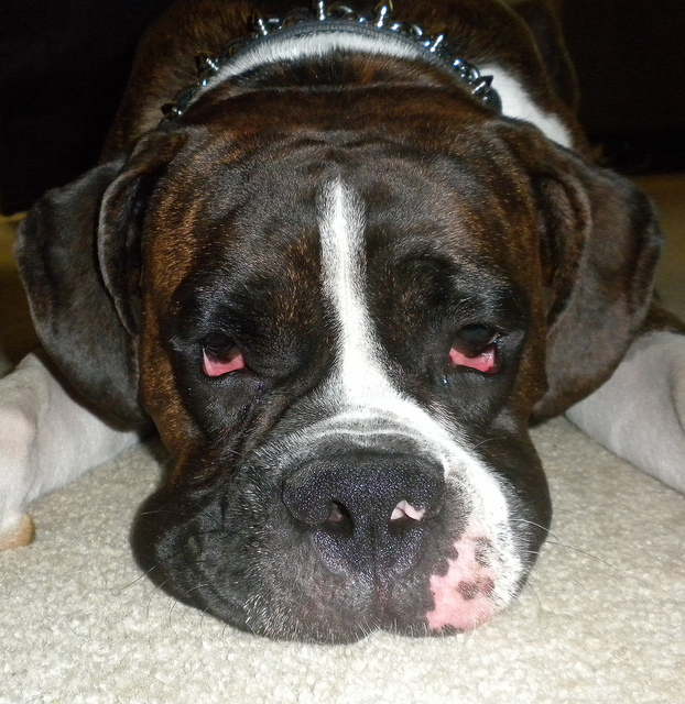 Lymphoma in boxer dog