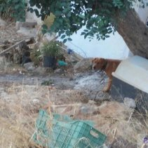 dog on Agios Haralampos hill