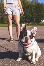 pet services best dog walker kelowna french bulldog-min