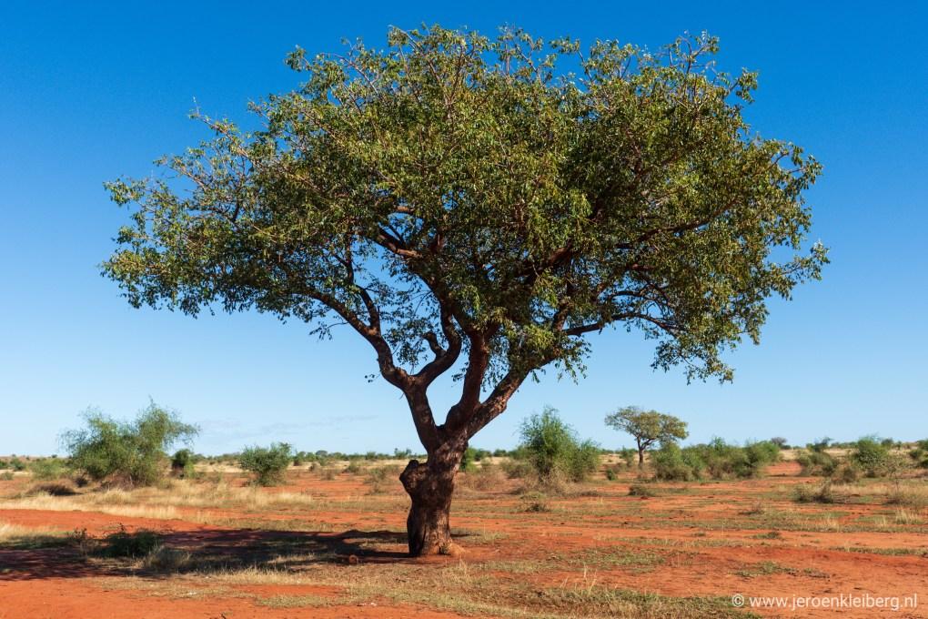 Tree Madagascar