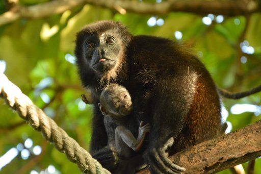 vrijwilligerswerk apen