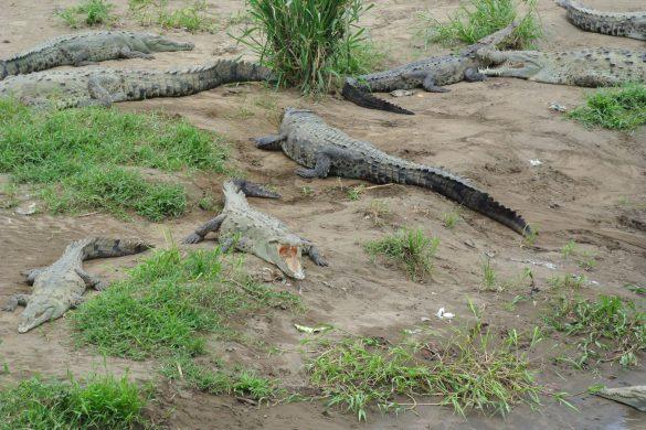 krokodillen tarcoles