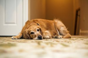 how to get old dog urine smell out of carpet