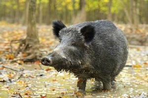 Can Hunting Solve the Plague of Wild Boars