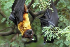 The Bats , Inexhaustible Source of Dangerous Viruses for Humans