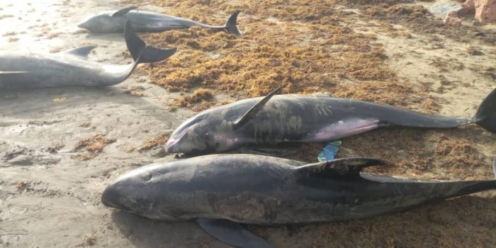 Ghana: Over 60 Dolphins, Big Fishes Wash Ashore Dead In Axim, Osu and Keta In 2 Days