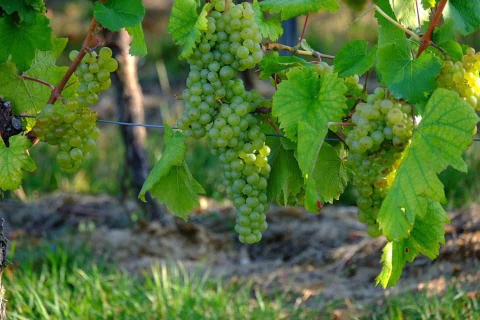 grapesagain