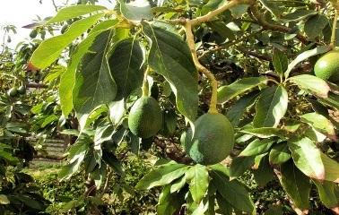 Avocado-Leaves
