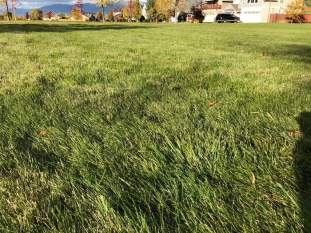Really thick green grass