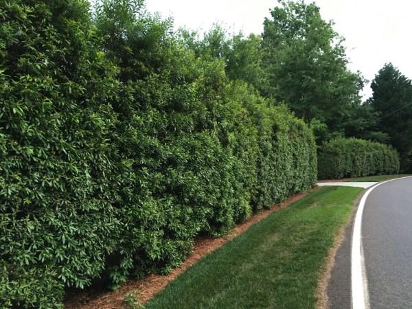 Myrtle Hedge