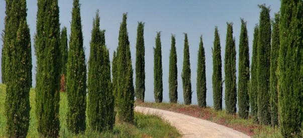 Cypress Hedge - Best Home Gear